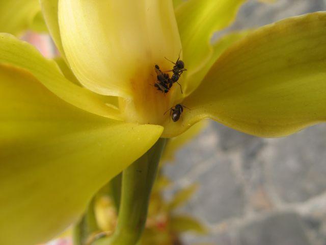 Orchidea zolta - pozywieniem dla mszyc i zajeciem dla mrowek