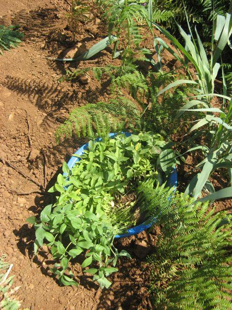 Sloneczniki do sadzenia i z prawej cien - czyli galazki babmusa i paproci