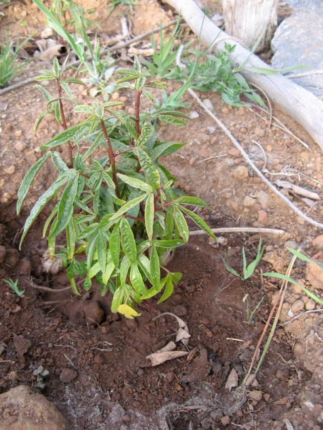 Passionflora z nasionek owocu - odmiana o owocach dlugich