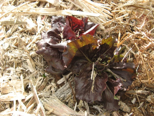 Ta salata ma az 2 lata :-) Mimo tego mozna az przez tyle czasu jesc jej pojedyncze listki