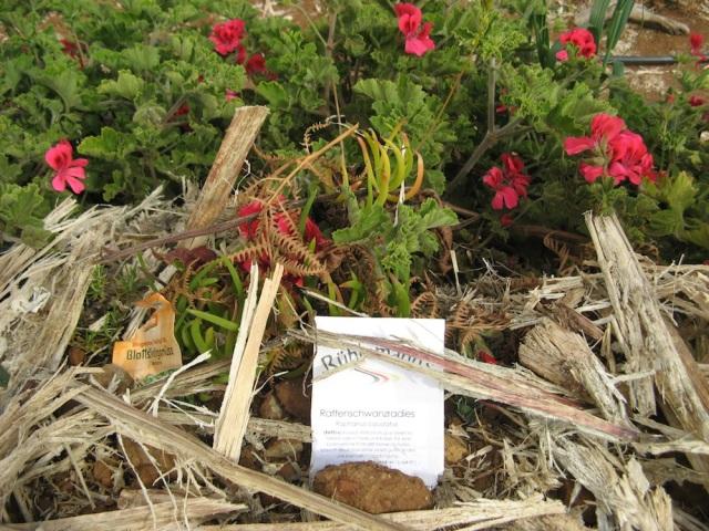 Miododajne geranie - pelne trzmieli. Plus wysiane nasiona rzadkwi Raphanus caudatus