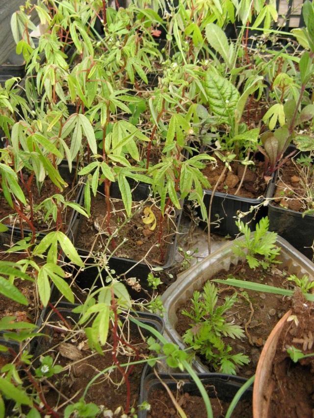 Passionflora z nasionek owocu