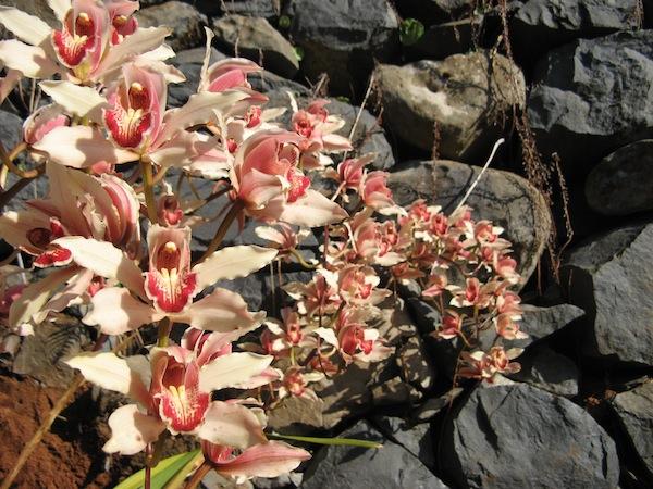 Ta orchidee juz znacie z ubieglego roku