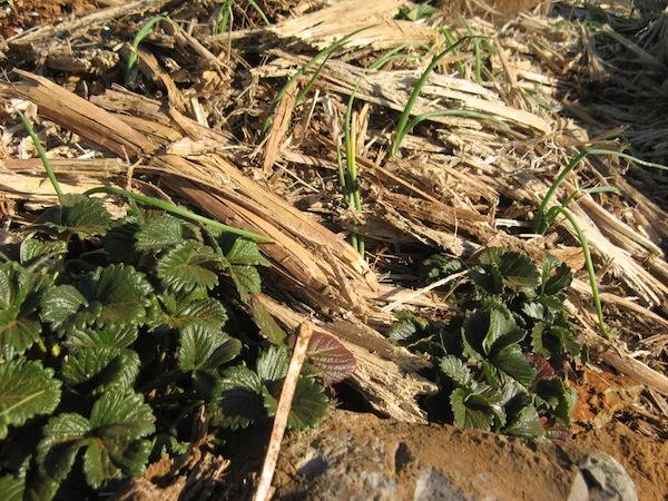 Cebula posadzona pomidzy truskawkami
