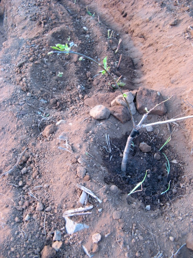 Maliny i czeresnia - Czeresnia - Magiczna Oaza wrozki Marii Bucardi jak zmienic pustynie w ogrod dla Matki Ziemi