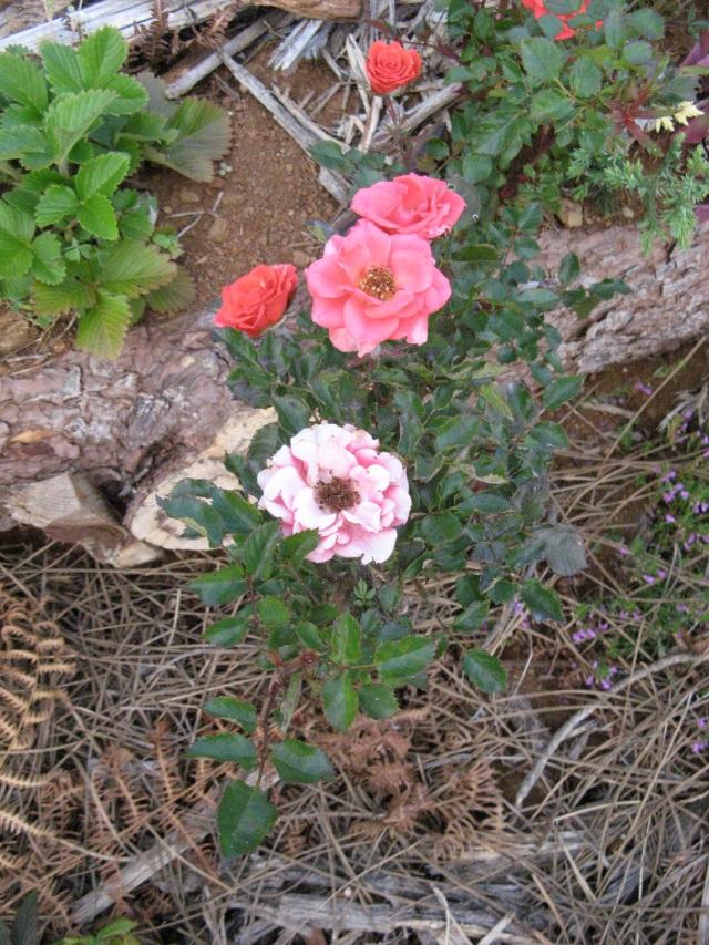 Roze - Magiczna Oaza Marii Bucardi