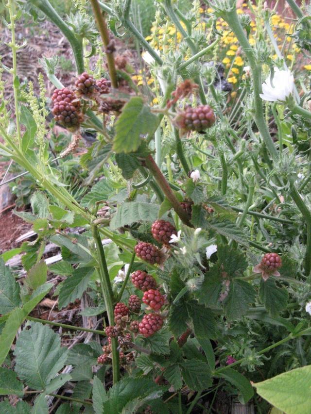 Jezyna - Magiczna Oaza Permakultura Ogrod BEZ Chemii ekologiczny Marii Bucardi