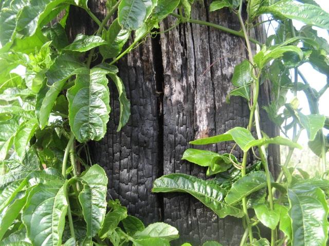 Męczennica (Passiflora L.) w Magicznej Oazie