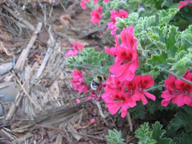 Geranium Pelargonie jadalne kwiaty - po pierwszym deszczu w Magicznej Oazie