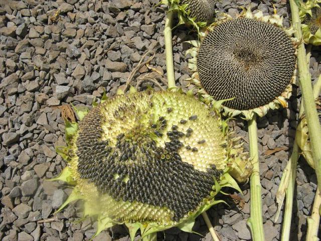 Zbiory nasion slonecznika - w Magicznej Oazie