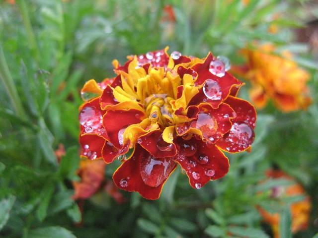 Aksamitka - w calosci jadalna na surowo - w Magicznej oazie po deszczu