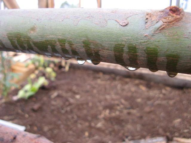 Eukaliptus - w Magicznej Oazie po pierwszym deszczu