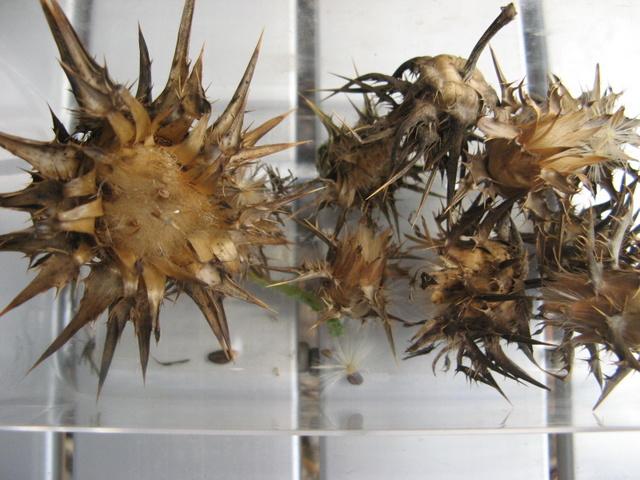 Zbiory nasion roslinek jednorocznych  - ostropest plamisty