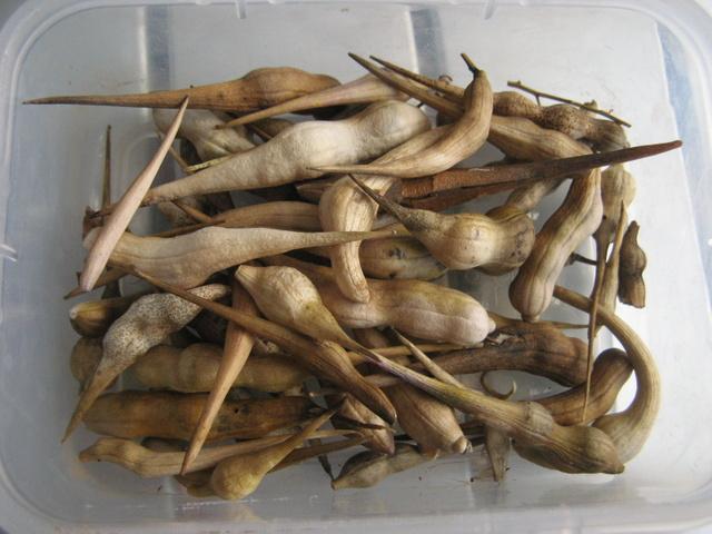Zbiory nasion roslinek jednorocznych  - rzodkiew