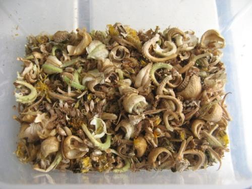 Zbiory nasion roslinek jednorocznych  - nagietek