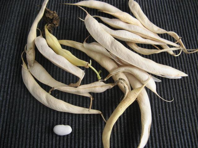 Zbiory nasion roslinek jednorocznych  - fasolka niska