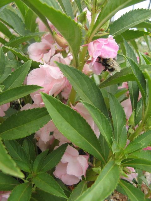 Niecierpki - posiadaja pyszne kwiaty, jadalne na surowo