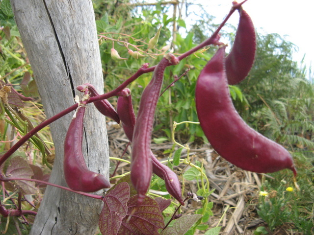 odmiana fasoli Pachyrhizus