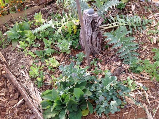 Magiczna Oaza inicjatywa Marii Bucardi - karczoch, brokoli, bob