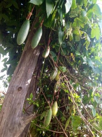 jadalne owoce meczennicy - pyszne