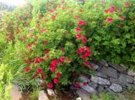 Pelargonia
