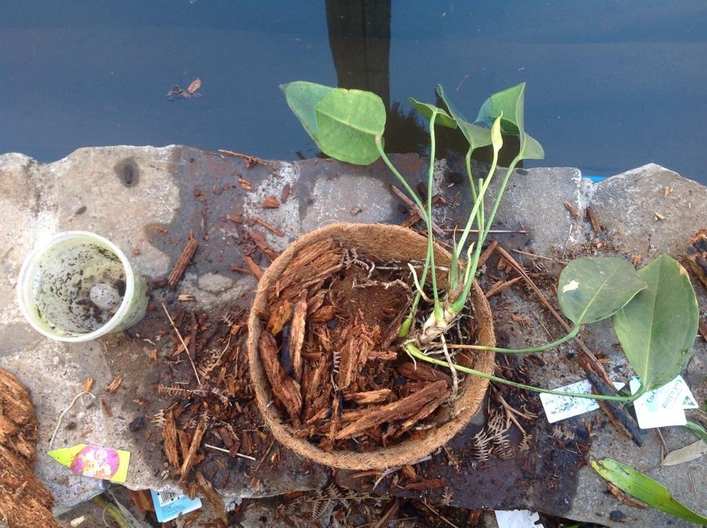 saszenie Anthurium korzenie powietrzne powinny dobrze sprawowac sie  w naturalnych koszczkach
