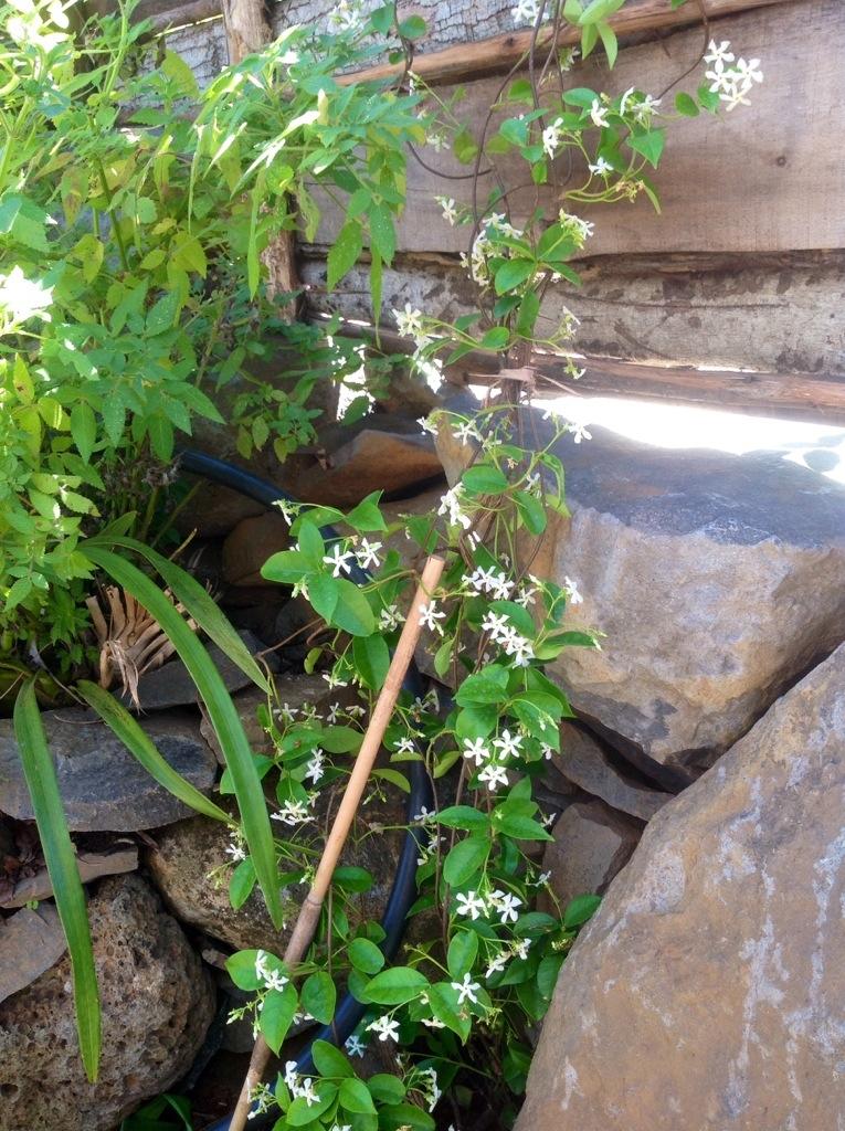 jasmin druga odmiana, jak widzicie ma mniejsze kwiatuszki