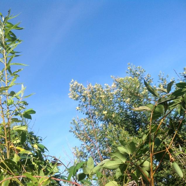 W Magicznej Oazie - jesien - kwitnaca akacja