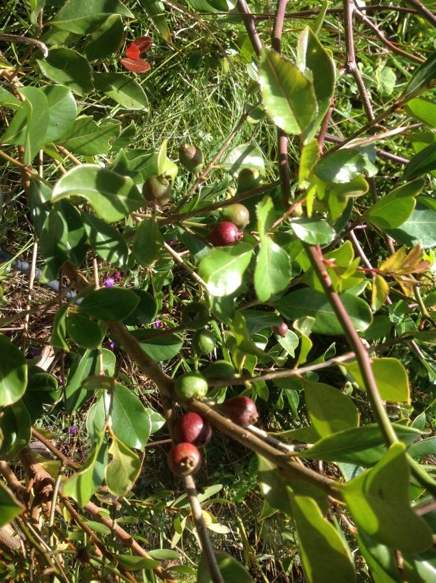 Gujava - owoce - W Magicznej Oazie - jesien